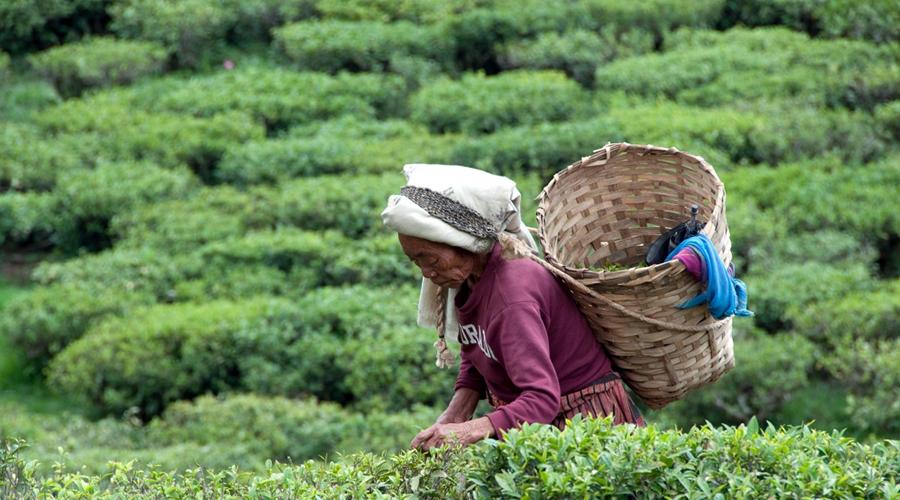 Trabalhadora com cesto grande às costas a fazer recolha em campo de cultivo