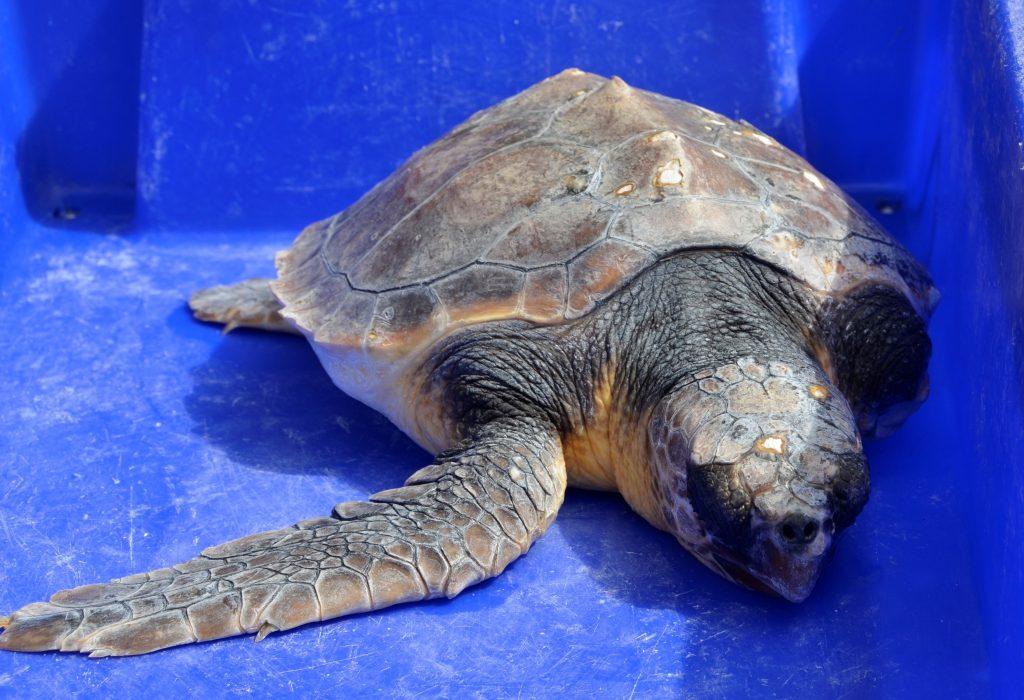 Fotografia de Tartaruga em reabilitação